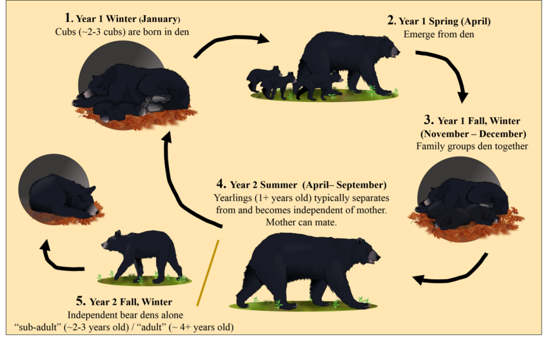 black bear den diagram